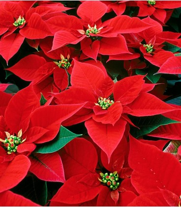 Poinsettia poisonous to cats and pets