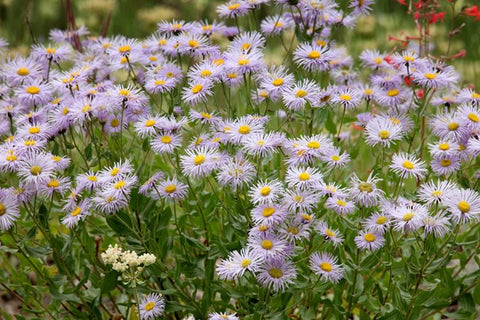 Aster cat friendly flower