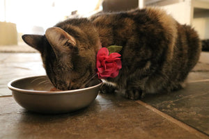 Cat with bow eating from Americat cat bowls