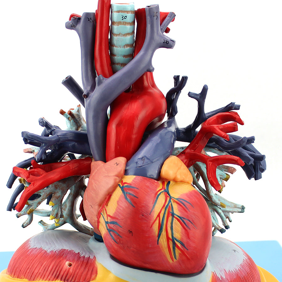 Anatomical Heart And Lung Surgical Toolbox