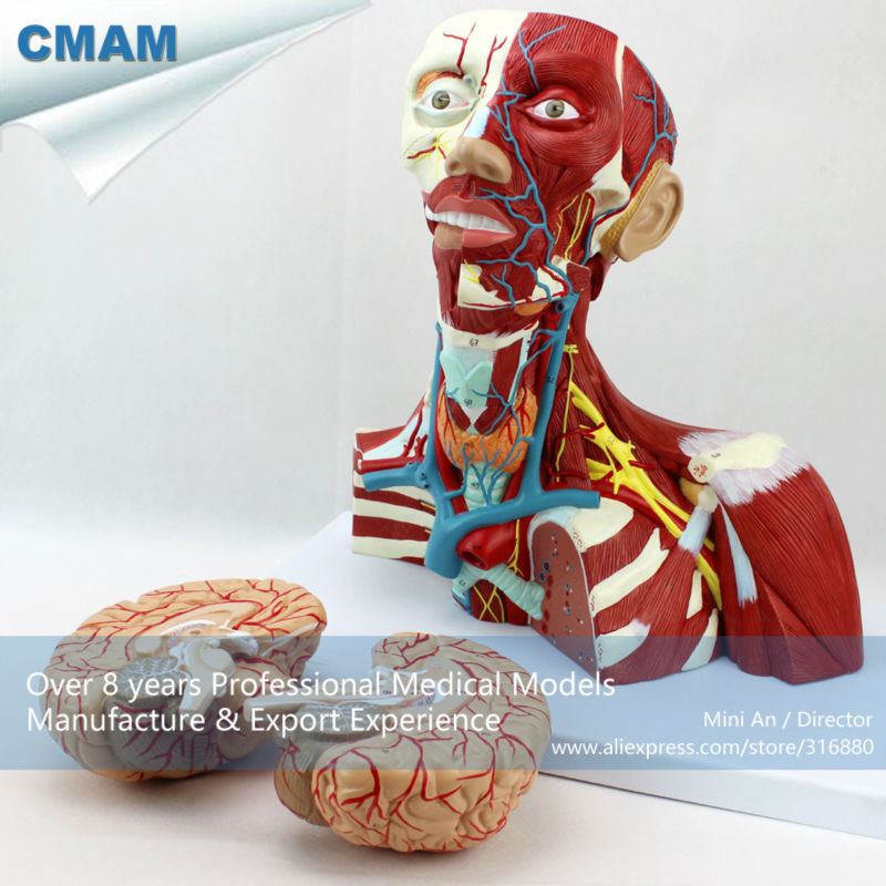 12310 CMAM-MUSCLE16 Medical Education Anatomical Neck Muscle Anatomy ...