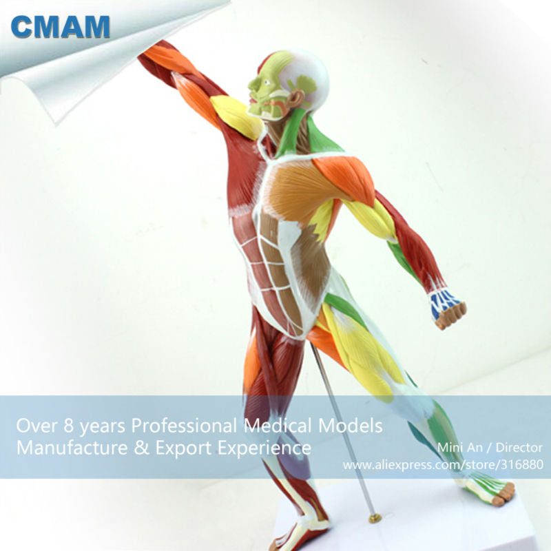 12308 Cmam Muscle14 Human Muscle And Skeleton Anatomy Model Learing