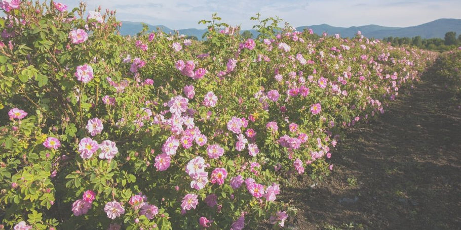Why We Farm Ecuadorian Roses?