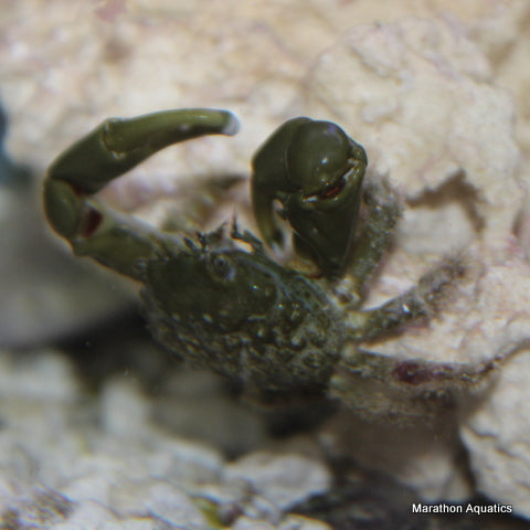 Emerald Crab 3 pack