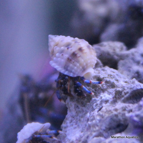 White Shell Blue leg Hermit crabs Lg 15 Pack