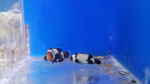 Black snowflake clown fish
