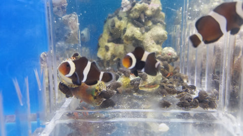 Black clown fish pair