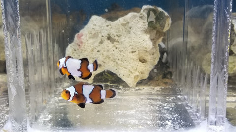 Black ice clown fish