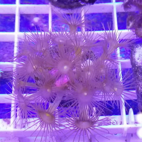 Yellow button polyps