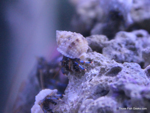 Jumbo Blue Leg Hermit Crabs 4 pack