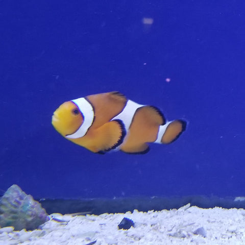 Ocellaris Clown fish