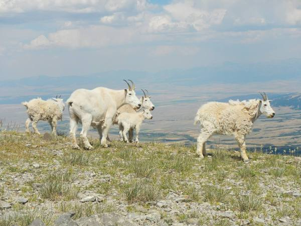 2019 Bridger Mountains Goat Survey