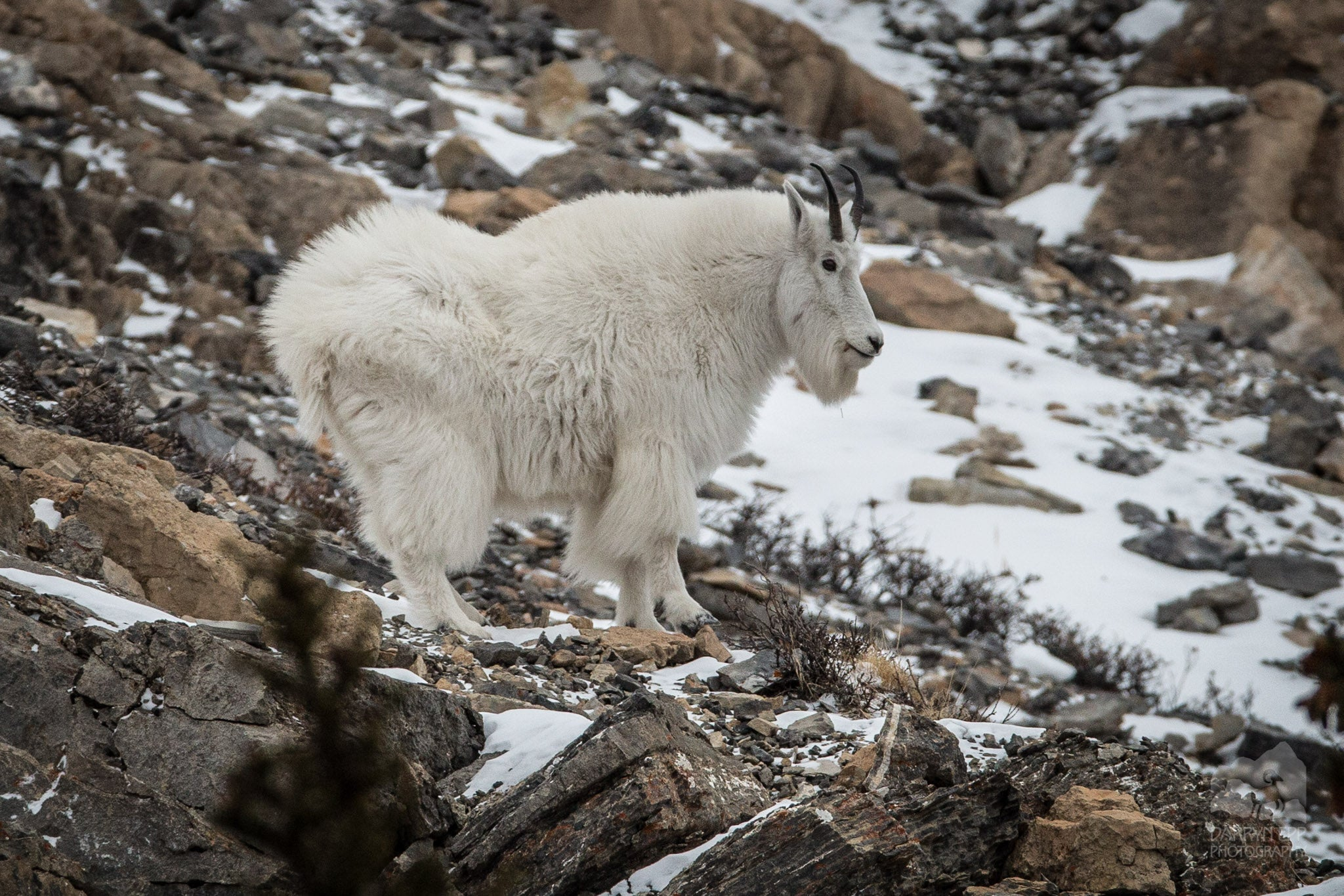 2019 Crazy Mountains Goat Count