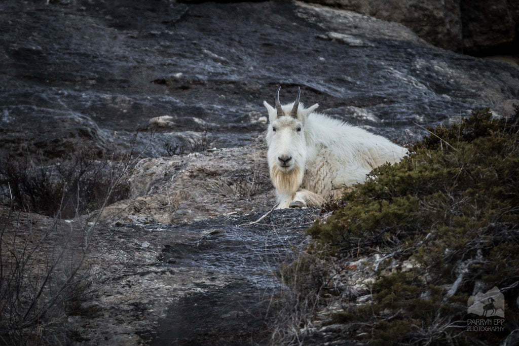 2018 Frank Church Mountain Goat Survey