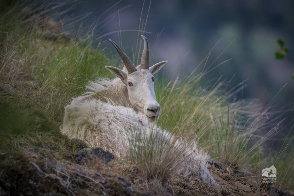 Olympic National Park Goat Removal to Begin September 2018.