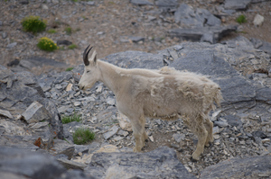 2019 Willard Peak Goat Count