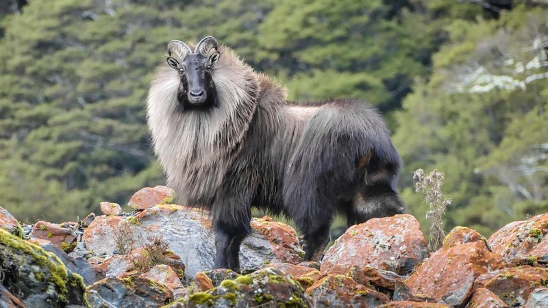 Help Save New Zealand's Himalayan Tahr