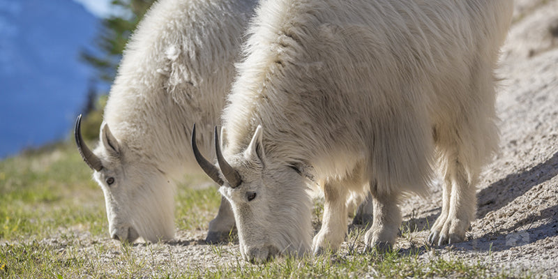 Mountain Goats Eating