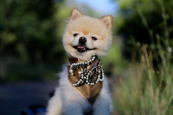 pomeranian volpino bandana for dog dog toy