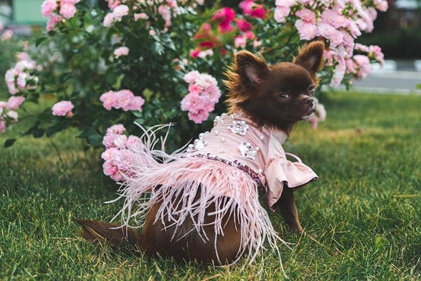 chihuahua puppies teacup chihuahua pink dress