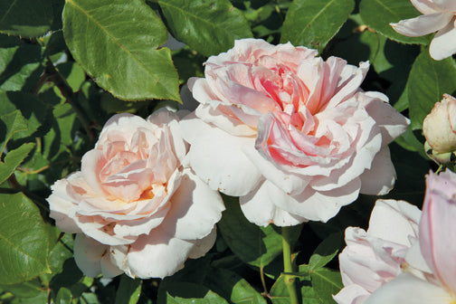 Griffith Buck Roses