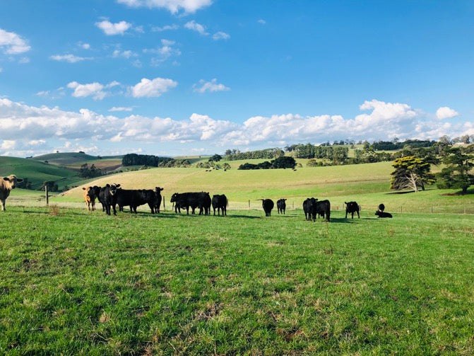 A photo of cattle roaming on the pasture in New Zealand