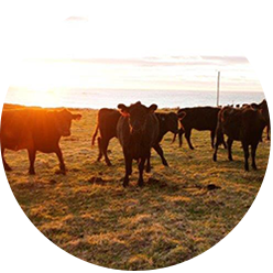 files/herd-of-cattle-on-ranch-at-sunset.png