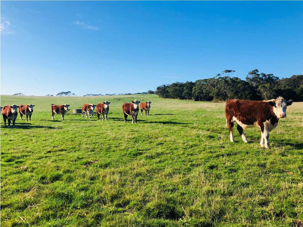 Cattle on a sunny pasture