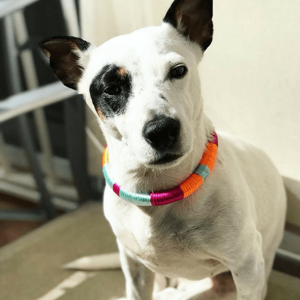 white dog with colorful handmade happynes collar
