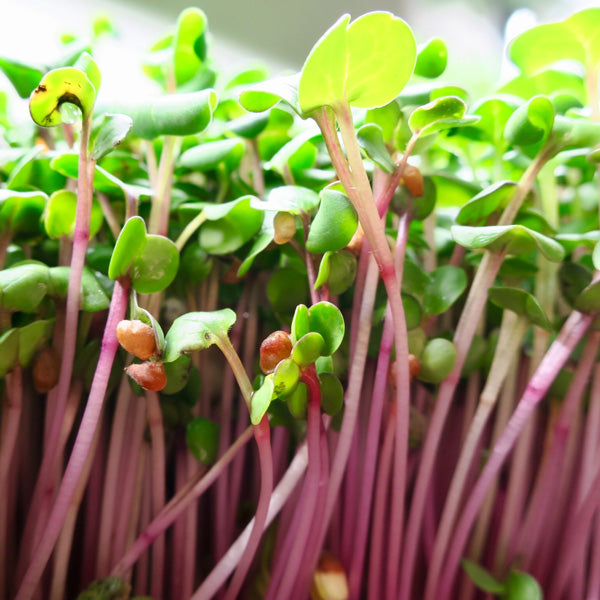 cowan-farm-microgreens-hemp