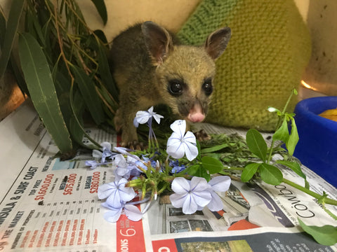 Australian wildlife rescued from bushfires by Canadian Animal Rescue Team