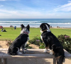Border Collie dog and Australian Shepherd dog gaze at the ocean in California and they are bonded to each other and their owners after taking the Vancouver Dog Obedience Class