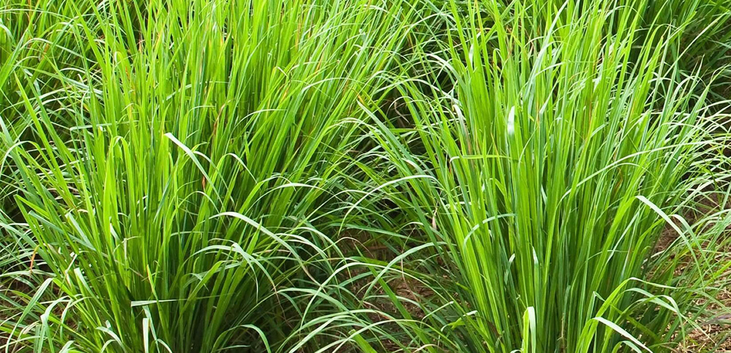 Ingredient Knowledge: VETIVER