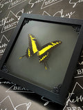 Butterfly Shadowbox