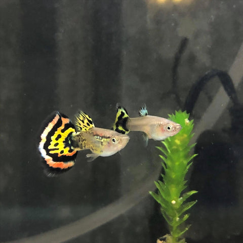 High Dorsal Tiger Pair - The Guppy Shed