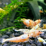 Red Bolt Shrimp - The Guppy Shed