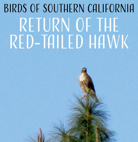 Birds of Southern California:  The Return of the Red-Tailed Hawk