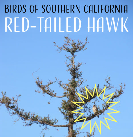 Birds of Southern California: The Red-tailed Hawk