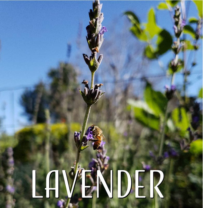 All About Lavender