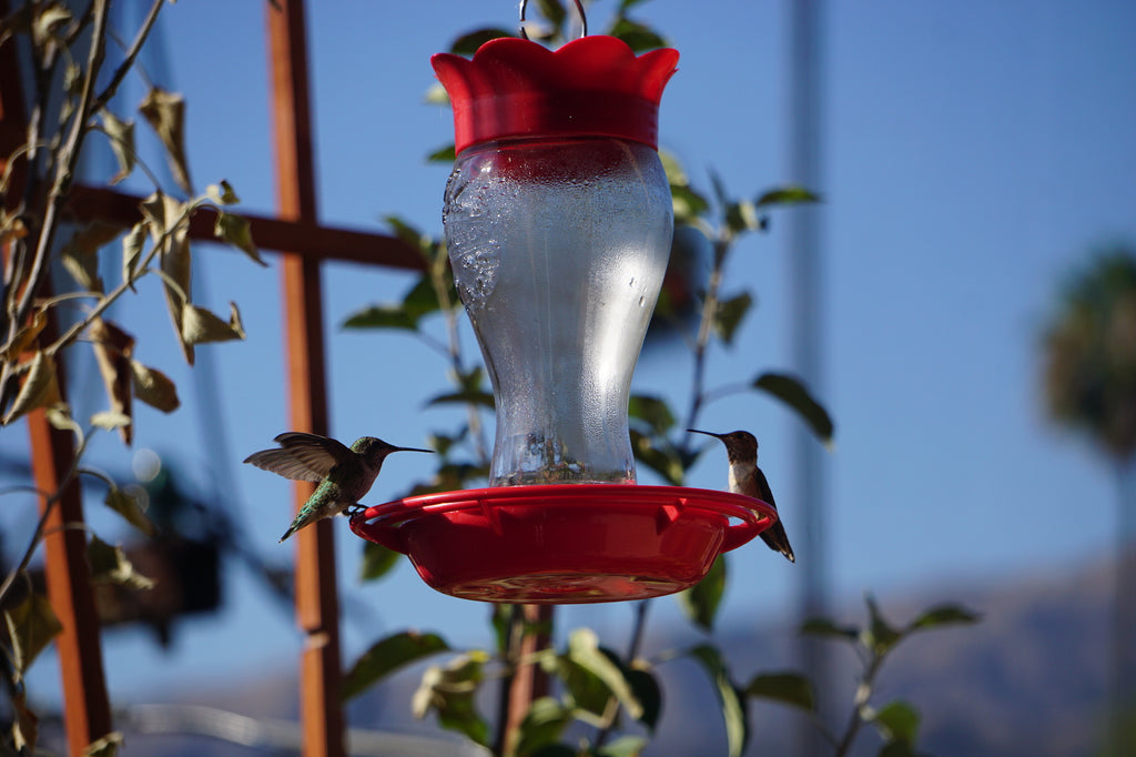 hummingbirds glendale ca