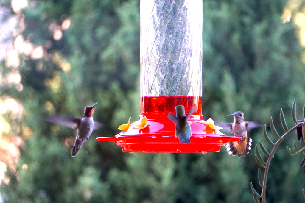 hummingbirds on feeder summer glendale, ca