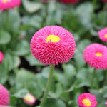 English daisy bellis perennis seeds