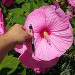 Giant Hibiscus Flower Seeds