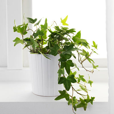 English Ivy plants for a healthy home