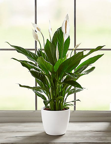 Peace Lily House plants for healthy home