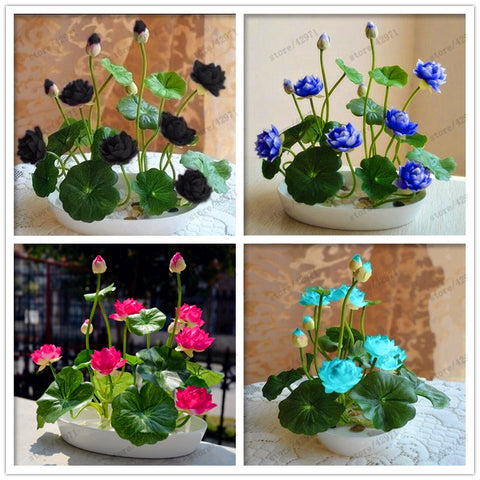 10pcs Bowl Lotus Seed Hydroponic Plants Aquatic Plants Flower Pot lotus Water Lily Seeds