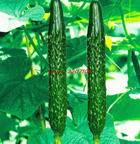 Free shipping 50 cucumber cultivation, Green vegetables seeds, gardening supplies .