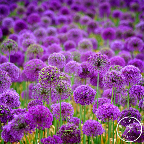 Promotion!300 PCS/Bag Purple onion seeds, household courtyard planting, potted plants,