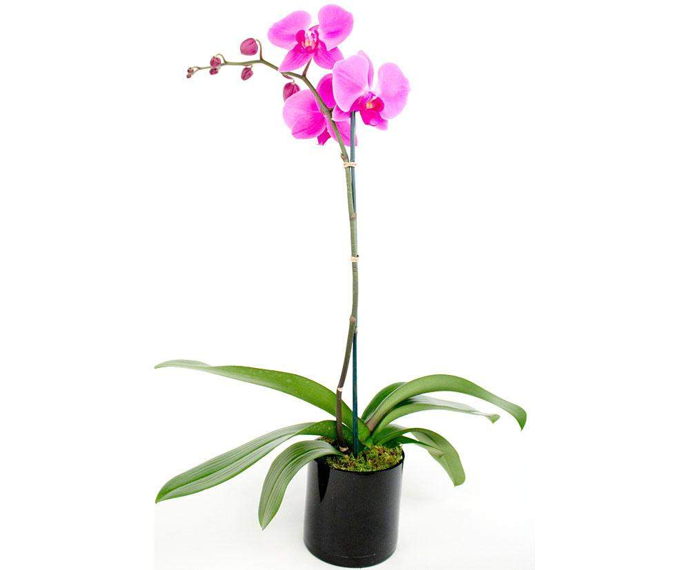 Delicate Refinement Orchid in Pot