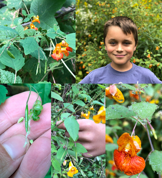 Jewelweed Collecting